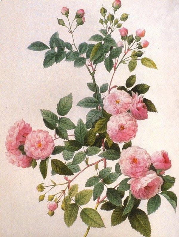 植物科学绘画 botanical illustration