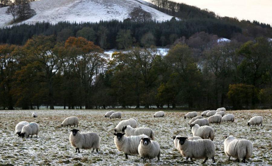 英国常见的萌萌的绵羊……