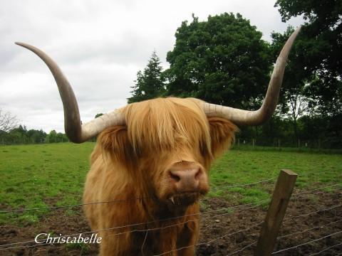 苏格兰高地牛