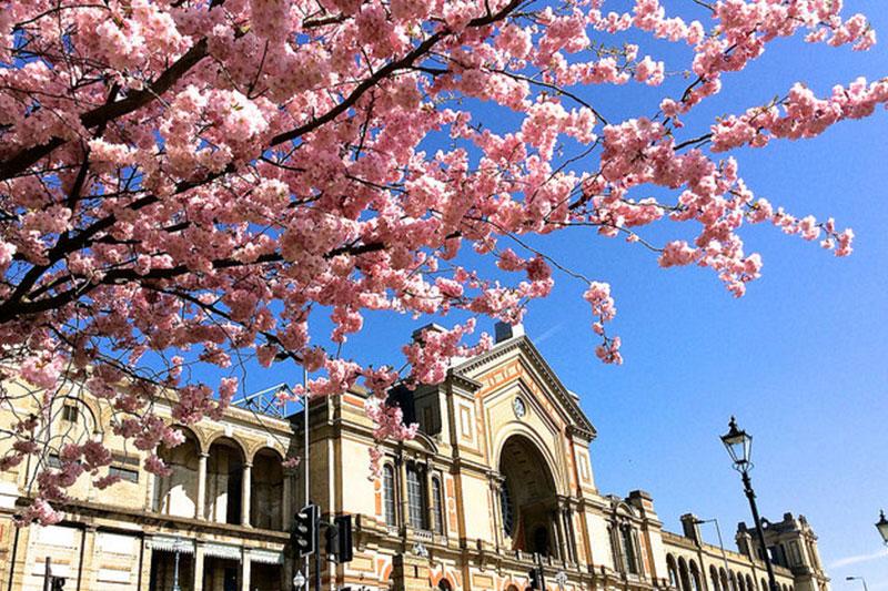 Alexandra Palace 的樱花
