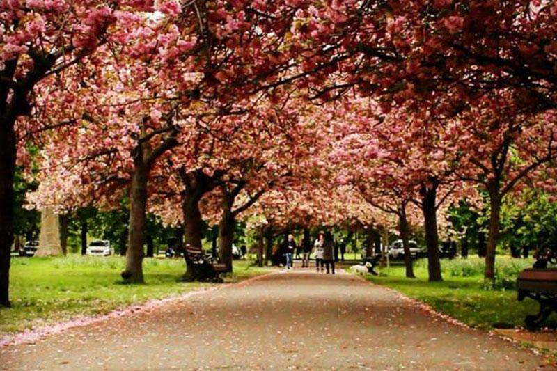 格林威治公园的樱花