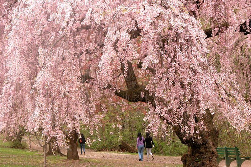 Kensington Gardens 的樱花