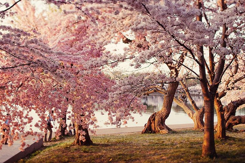 在伦敦赏樱花 Regents Park