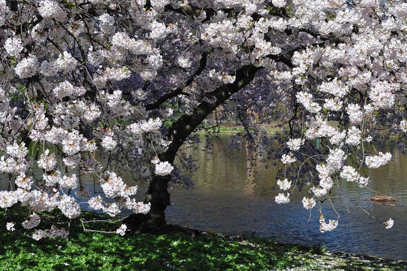 St James's Park 的河边樱花