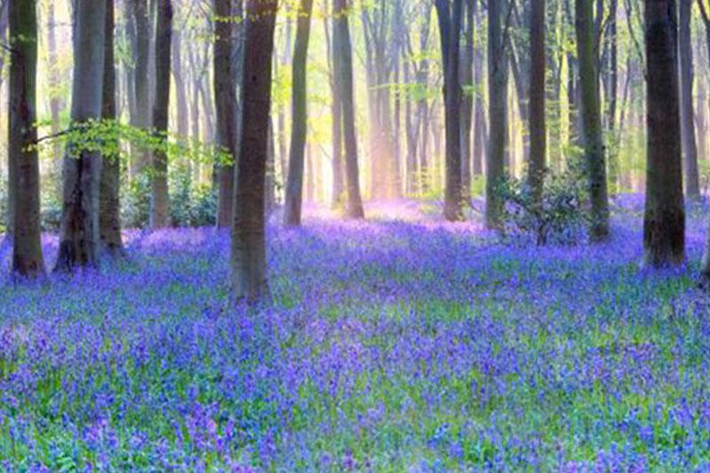 英国树林里的蓝铃花海
