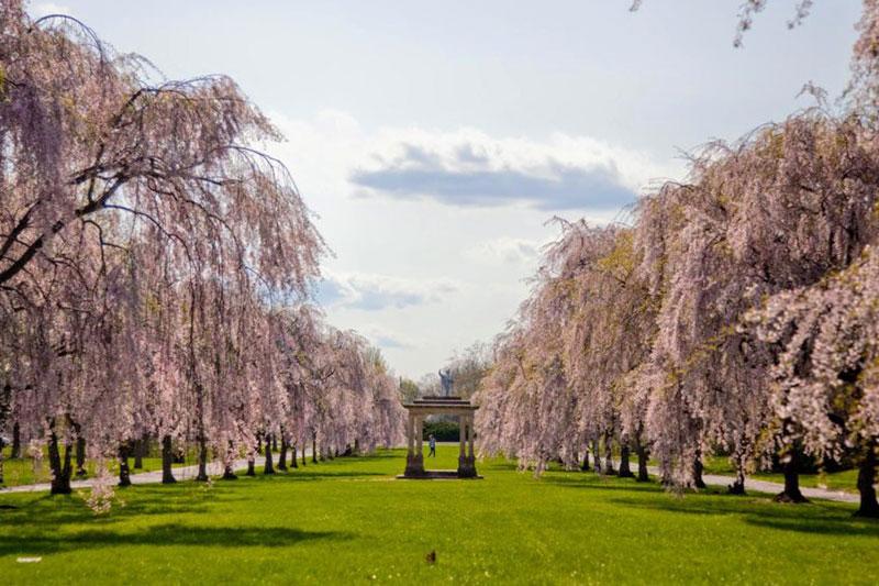 2019年伦敦邱园的樱花盛放