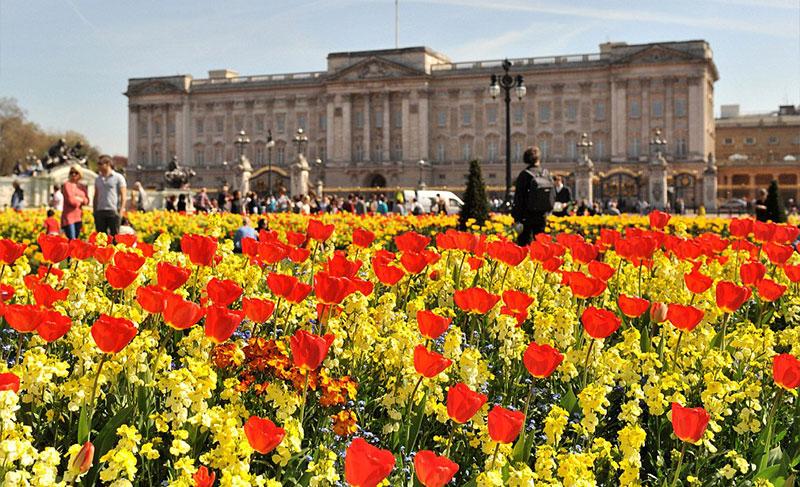 白金汉宫前的郁金香花