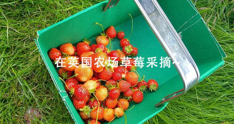 采摘的一篮子草莓