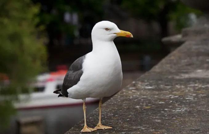 英国的海鸥