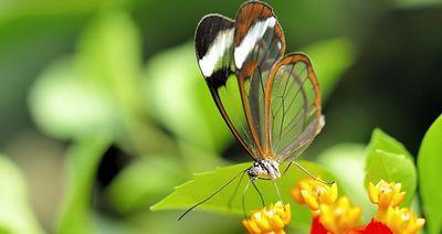 威尔士蝴蝶