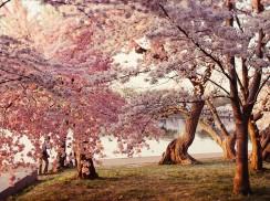 在伦敦去哪看樱花,七大伦敦赏樱花地